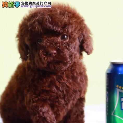 转让多种颜色多种血系的徐州泰迪犬 疫苗驱虫齐全1