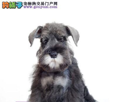 遂宁市出售纯种高智商雪纳瑞幼犬 毛色亮丽品相完美