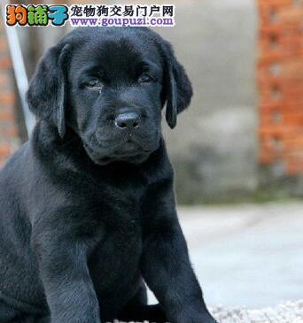 成都特惠出售拉布拉多幼犬签协议保纯种保健康