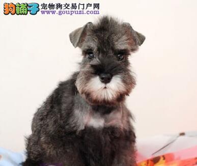 雪纳瑞幼犬的健康护理,初次养狗狗不要喂太饱