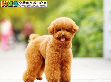 深圳自家犬业出售韩系贵宾犬 国外引进血统保证纯度2