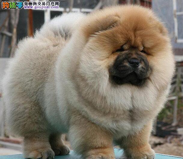 高品质Q版宽嘴松狮宝宝出售 乌鲁木齐正规犬舍繁殖