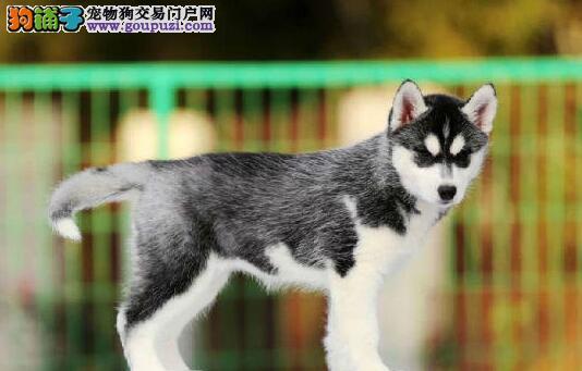 广州基地热售双蓝眼三把火哈士奇幼犬 终身免费饲养指