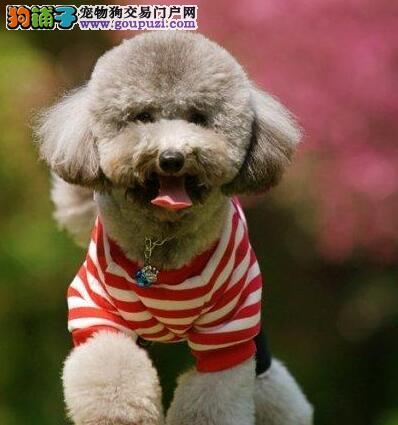 深圳自家犬业出售韩系贵宾犬 国外引进血统保证纯度3