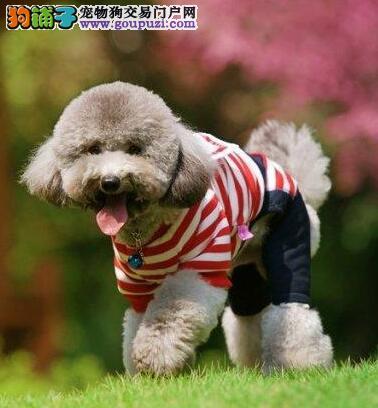 深圳自家犬业出售韩系贵宾犬 国外引进血统保证纯度