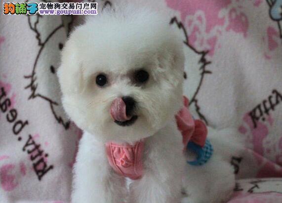 棉花糖版大眼睛甜美脸型的海口比熊犬待售中 非诚勿扰