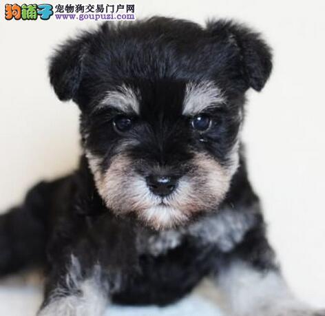 海口知名犬舍售多只三个月的雪纳瑞幼犬 保证完美售后