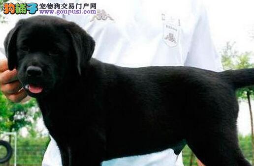 大骨架身体强壮的海口拉布拉多犬找新家 保证血统纯正