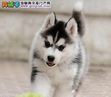 重庆哪里有卖哈士奇幼犬 三火蓝眼哈士奇狗狗 疫苗已做