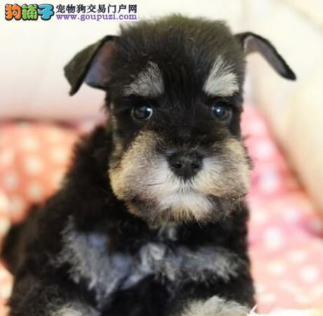 品相极佳的济南雪纳瑞幼犬找新家 欢迎上门选购爱犬