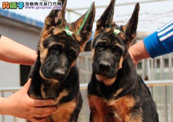 纯正血统骨骼强壮的海口德国牧羊犬出售中 狗贩子绕行