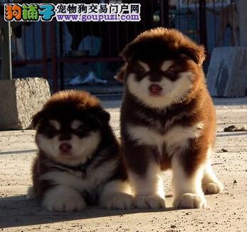 AKC注册犬业出售北京最漂亮冠赛级熊版巨型阿拉斯加
