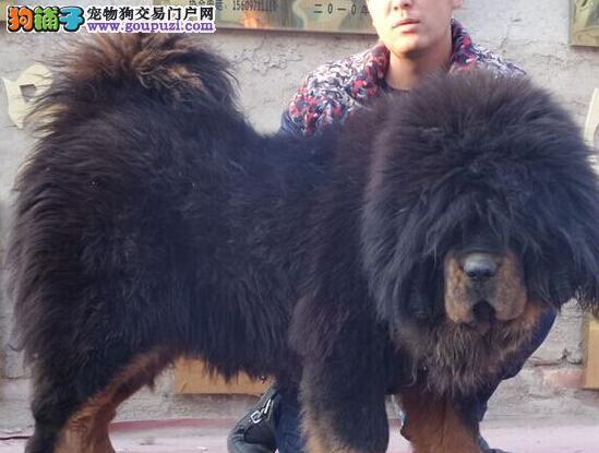 霸气威武 大狮头大骨量大长毛 西宁藏獒正在找新家