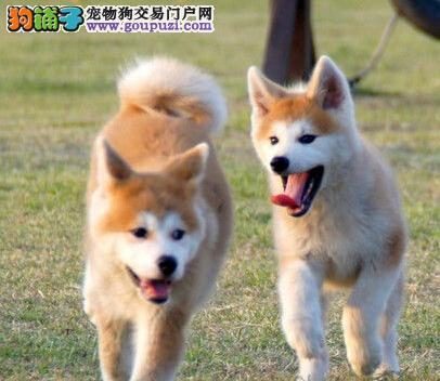 纯种秋田犬幼犬 公母均有颜色齐全 签协议可送货3