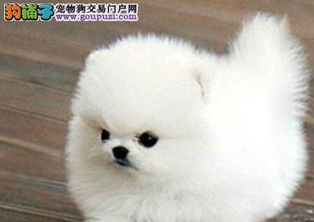 出售哈多利球形的太原博美犬 建议大家上门选购幼犬