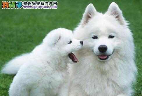 CKU犬舍认证出售纯种萨摩耶欢迎爱狗人士上门选购
