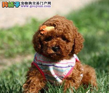 南昌售纯种茶杯玩具泰迪犬 品相好颜色齐质保90天