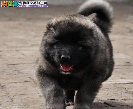 郑州狗场出售狼青色熊版品质的高加索犬 看家护院好手