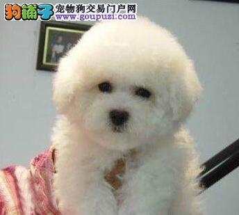 优秀可爱卷毛比熊犬直销价格出售 南京周边可免费送货1