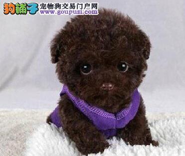 泰迪犬找新家、CKU认证绝对保障、质保健康90天