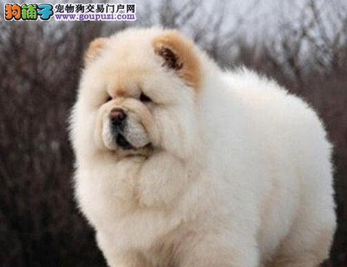重庆诚信交易黑白色松狮犬健康终身保障签协议送狗用品