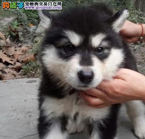 南昌地区最大犬舍出售纯种阿拉斯加雪橇犬 有血统证明