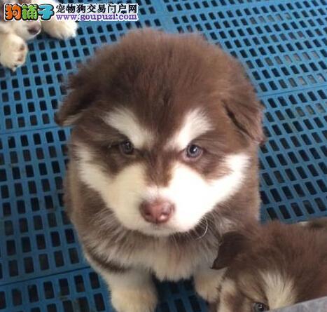 武汉信誉狗场直销阿拉斯加雪橇犬 颜色多保证品质图片