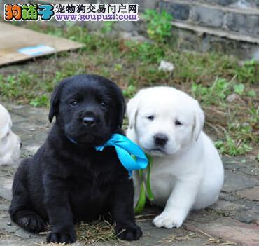 低价出售自家繁殖的广州拉布拉多犬 品相超棒血统纯正