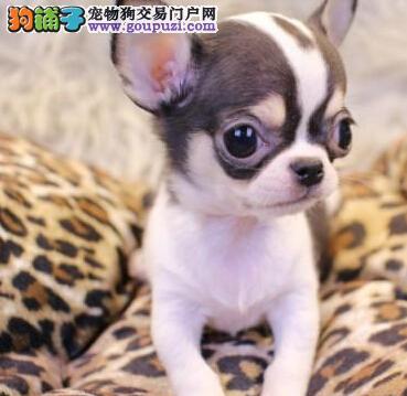 信阳顶级高品质的吉娃娃幼犬出售 疫苗做完 质量三包