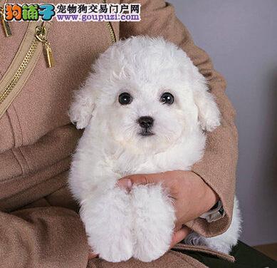 重庆售精品泰迪犬贵妇犬 卷毛犬 泰迪宝宝泰迪熊品相好