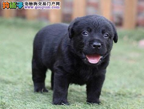 南京狗场出售高品质拉布拉多幼犬 品质保证包健康纯种