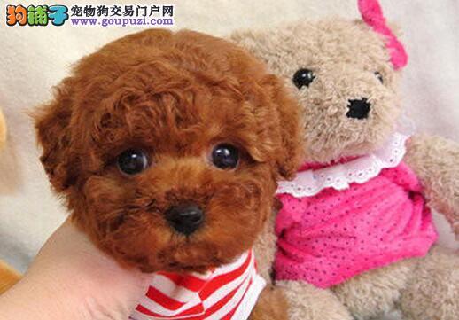 火热出售聪明机智活泼可爱的南京泰迪犬 三针疫苗齐全
