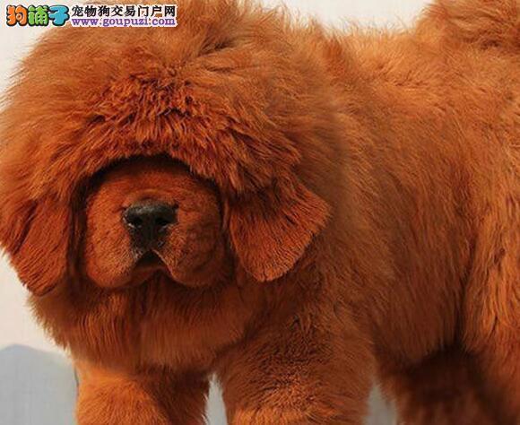 大狮头大骨量大长毛藏獒幼崽出售中 南京市内可送货