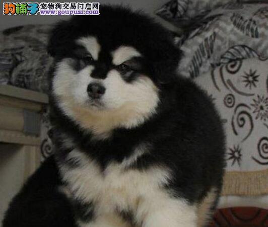 厦门专业阿拉犬狗场售阿拉斯加雪橇犬品相好巨型犬
