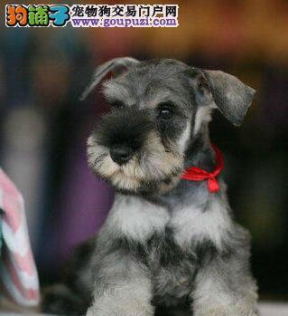大胡子小老头十分可爱的杭州雪纳瑞找新家 狗贩子勿扰