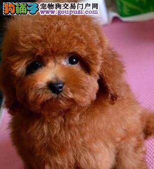 纯种泰迪犬直销、纯度第一价位最低、喜欢加微信3