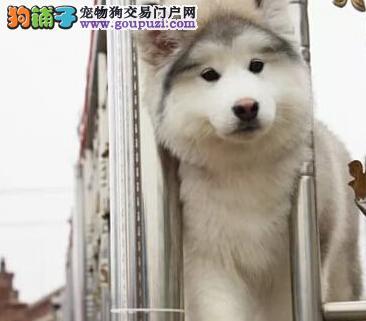精品阿拉斯加雪橇犬热销 欢迎来乌鲁木齐狗场上门挑选