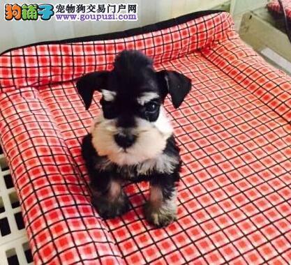 极品纯正的齐齐哈尔雪纳瑞幼犬热销中品质保障可全国送货