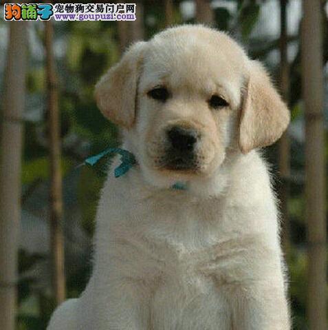 北京出售纯种拉布拉多犬 三年优质售后服务 当面协议