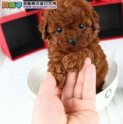 犬舍直销品种纯正健康商洛泰迪犬保终身送用品