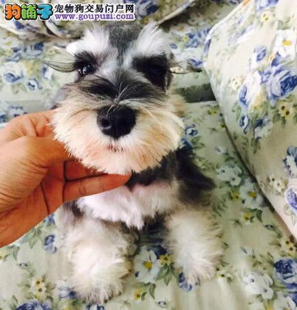吐鲁番出售纯种雪纳瑞犬幼犬品相好 可退换