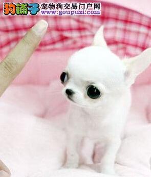 赛级吉娃娃幼犬 真实照片保纯保质 全国送货上门3