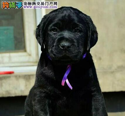 深圳市拉布拉多神犬小七 导盲犬 出售