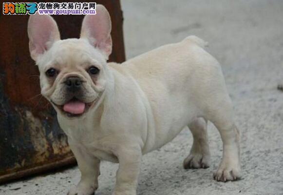 极品优秀大鼻筋斗牛犬深圳狗场热卖 价格优惠保健康1