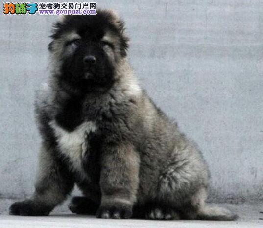 白银市直销猛犬高加索犬幼犬价格合理三个月高加索犬