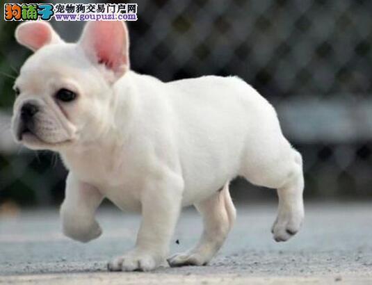欧系小体迷你法国斗牛犬出售奶油色虎斑色黑色法斗可选