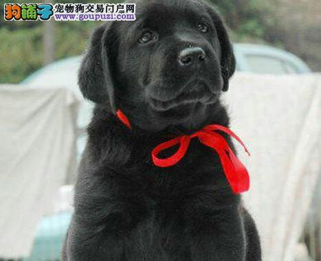 营口市出售拉布拉多犬 公母都有 可视频看狗 全国包邮