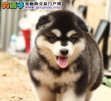 犬舍直销品种纯正健康阿拉斯加犬微信看狗真实照片包纯