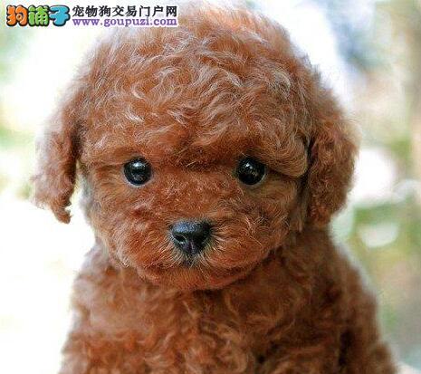 茶杯体乖巧懂事泰迪犬热卖中衡阳地区购犬送狗粮