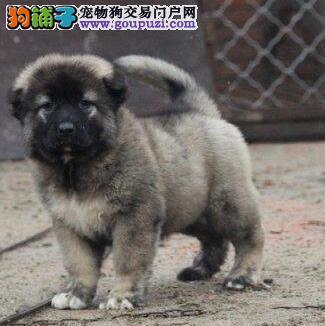 无锡养殖基地转让高大威猛的高加索幼犬 欲购从速